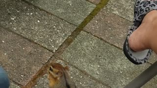 Chipmunk Joins in for Morning Coffee Time
