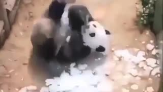 Panda is giving backflip in the sand