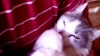 Funny kitten sucks its paw