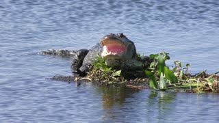 alligator basking in the sun with its mouth open