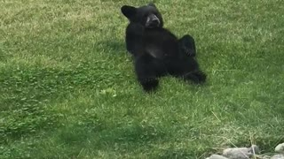 Family of Bears Lounge around in Backyard