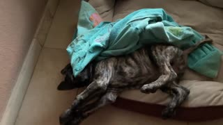 Little Mastiff Puppy Playing on Her Back
