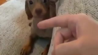 this sausage dog is really cute