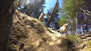 Trio of fox pups drag GoPro into their den