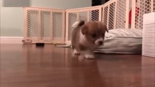 Funny and Cute Corgi Puppies Barking Video Compilation
