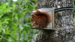 beautiful squirrel e