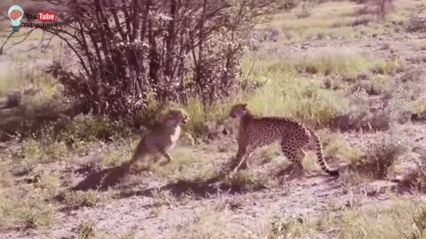 ★★ Wild leopards in great battle
