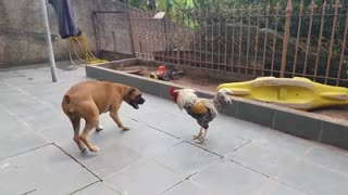 Funny animal 🦴🦴Dog VS Cock Epic Fight