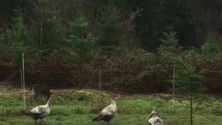 Turkeys defend their farm from nosy deer