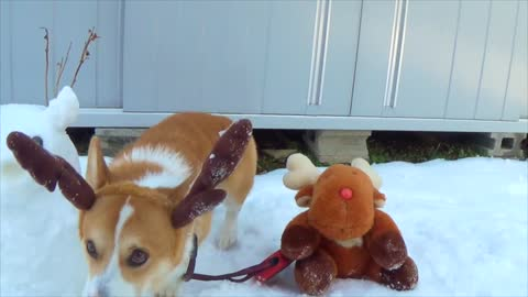 3 reindeers! corgi the reindeer eats snowman the reindeer!