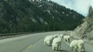Mountain Goats Block the Road in Jackson Hole Wyoming