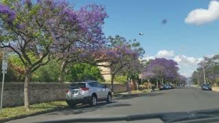 2019-11-30 North Adelaide Jacaranda 02