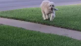 Dog retrieving the morning paper
