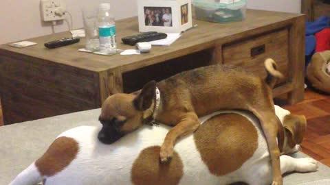 Chihuahua kick starts a Jack Russell like a motorbike