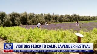 Visitors Flock to California Lavender Festival