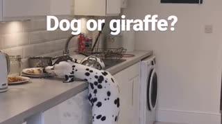 Dalmatian pulls off epic giraffe impression while stealing food