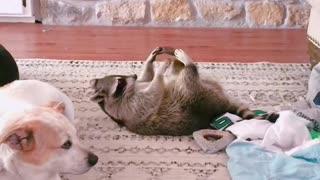 lazy raccoon