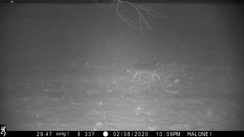 Coyote thinks he's a antler-less buck urinating on his scrape