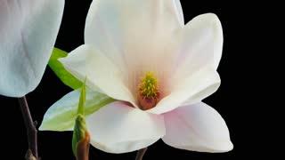 Timelapse magnolia