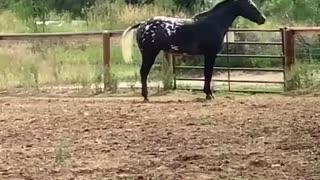 Senior horse showing off