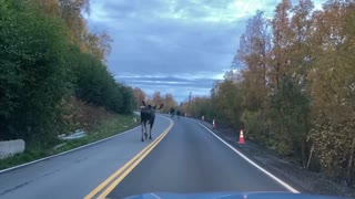 Moose Make for a Slow Moving Morning Commute