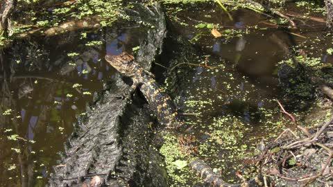 baby alligator on its mama back