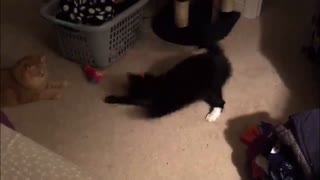 Cats trying to catch the Laser point