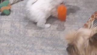 Vicious Westie puppies