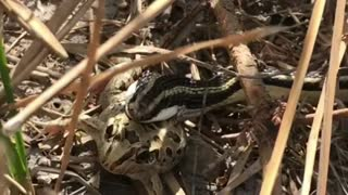 Big Snake Catches His Frog Prey