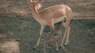 Little deer appears to have fun with the mama!!!