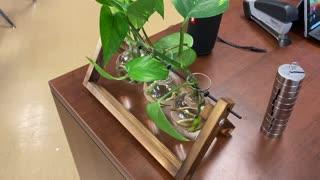 Grow Pothos in Water