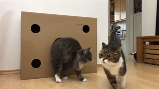 Cat scared by other Cat jumping out of Box