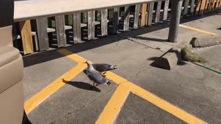 Galveston Seagulls
