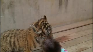 Cute little baboon playing with little tiger