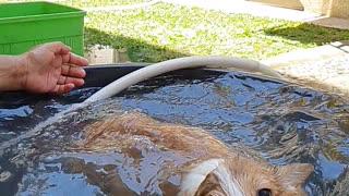 Corgi Learning How to Swim at Bath Time