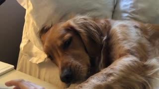 Needy Golden Retriever demands scratches from owner