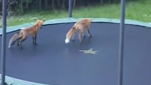 Funny Foxes Jumping on my Trampoline when they found it alone