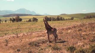 A Giraffe couple