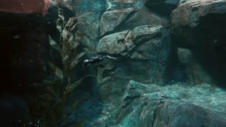 Amateur Diving Duck On Under Water Show