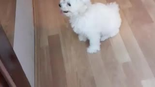Bichon frise puppy wanna play with dog in the mirror