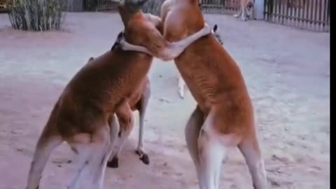 funny animal video and fighting