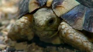 Egyptian turtle