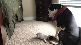 American Bulldog unimpressed with French Bulldog puppy