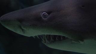 LA Nature et les Animaux/requin blanc