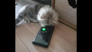 I don't understand Why baby cats can't get enough of the LASER