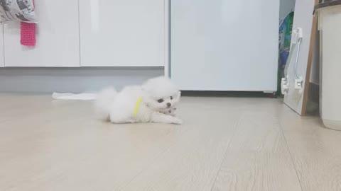 Cute pomeranian puppy!