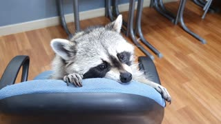 When Raccoon was angry