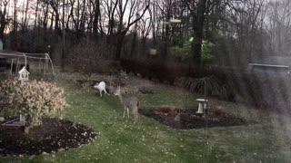 Albino Deer Wanders Into Backyard With Pals