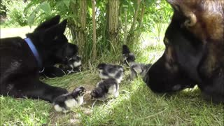 Puppy Introduced To His First Batch Of Newly Hatched Chicks
