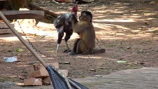 Monkey and chicken love